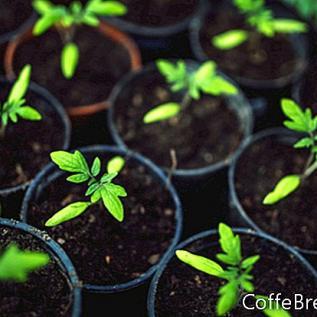 Erbstück Tomatenpflanzen