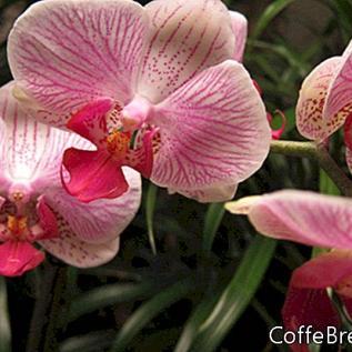 Polinizando las flores de orquídeas