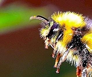Golden Bee spielt Klavier Traumdeutung