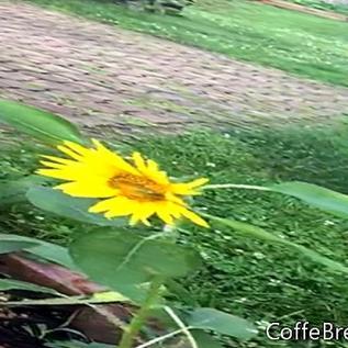 Auga mūsų pačių saulėgrąžos, Tenesis, JAV