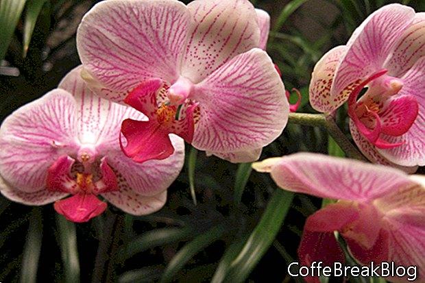 Epidendrums longipetalum ir tortipetalum
