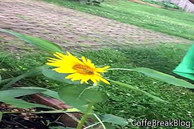 تزايد عباد الشمس الخاصة بنا ، تينيسي ، الولايات المتحدة الأمريكية